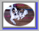 Says reply adult jack russell terriers more time